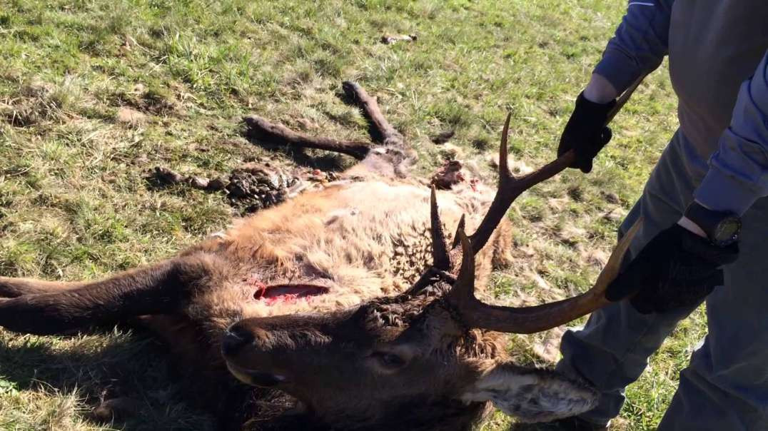 Graphic Content: Hoof rot and Coyotes kill an elk and we check it out.