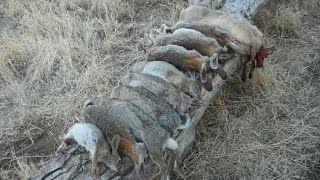 How to butcher your rabbit - Small Game Hunting Part 2 of 3