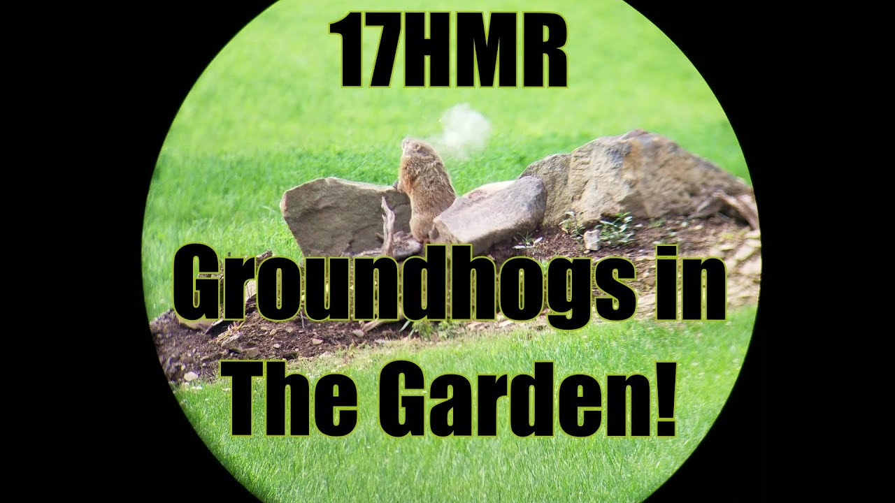 Garrow Firearms 17HMR A17 Upper Groundhogs in The Garden! 200+ Yards!