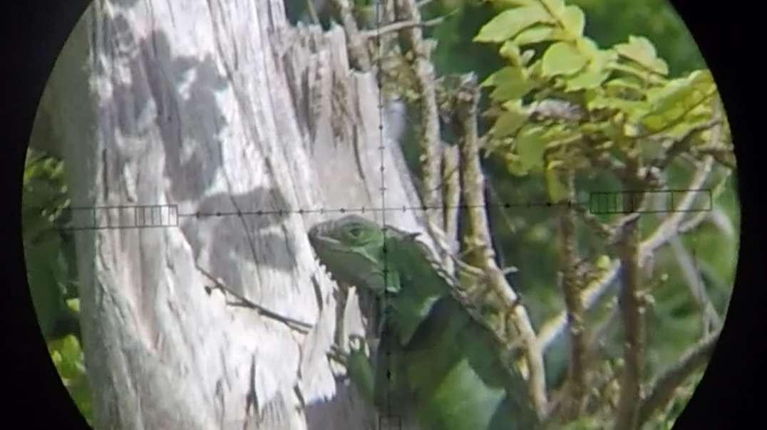 !HUNTING VIDEO AHEAD!  Iguana sniping at 40 and 50 yards