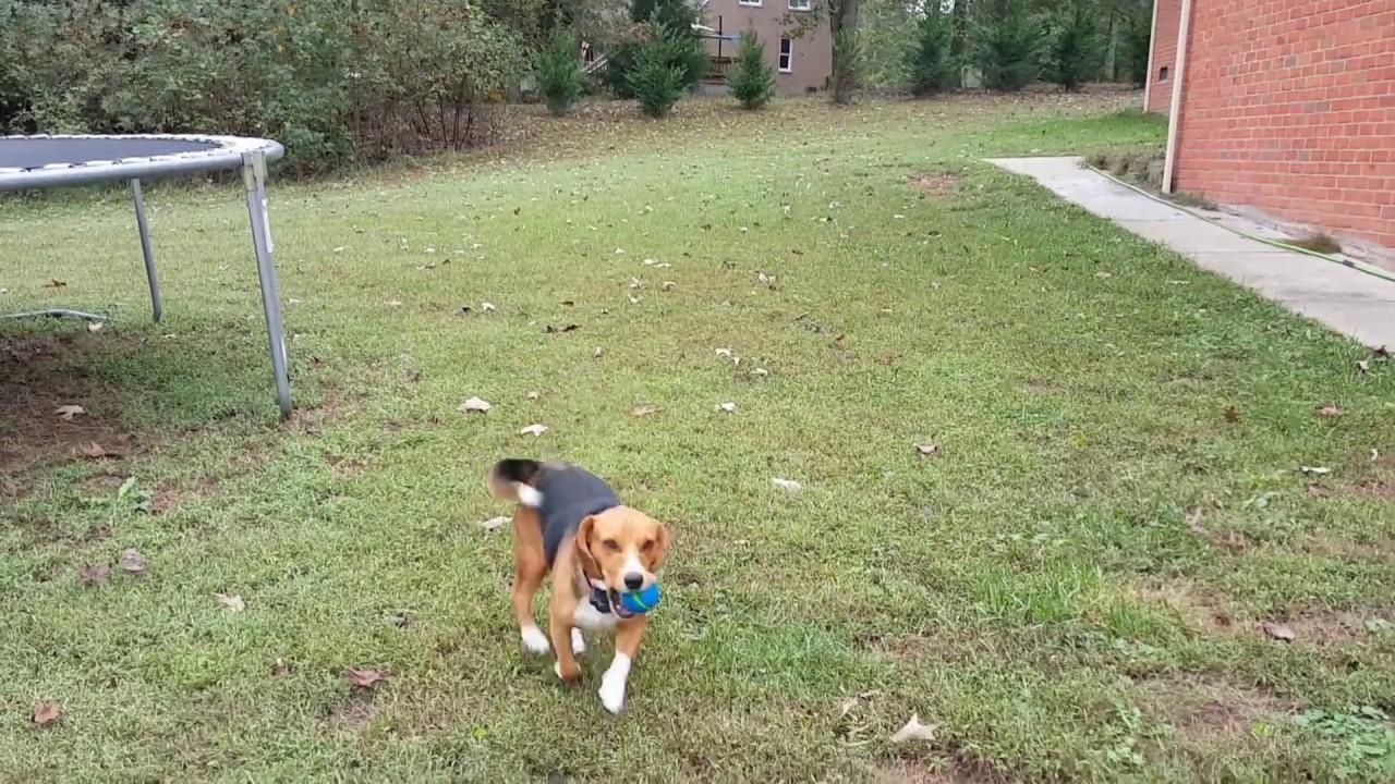 Silverback's Hunting Beagle. Lol