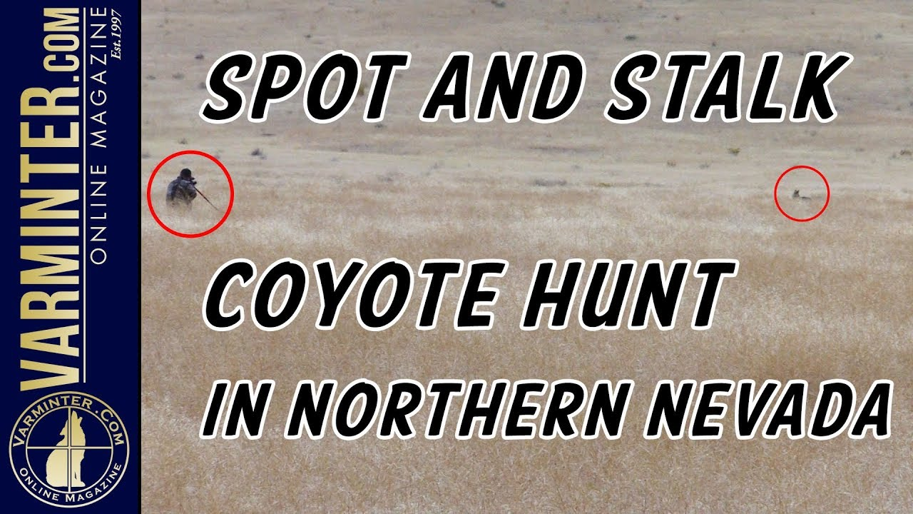 Spot and Stalk Coyote Hunt in Northern Nevada