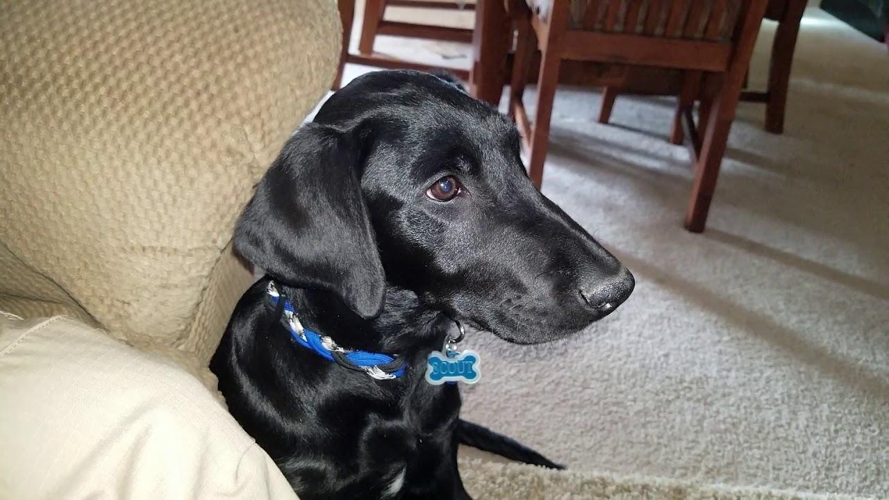 Labrador Puppy likes Barnwood Builders   Puppy life