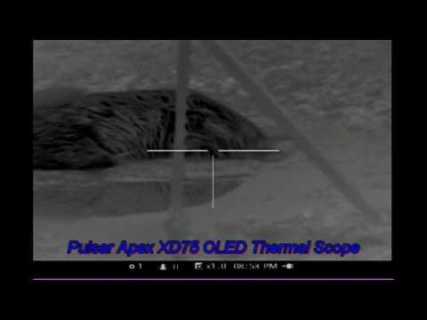 Coyote Hog Hunting Pulsar Apex XD75A Thermal Smoked Em