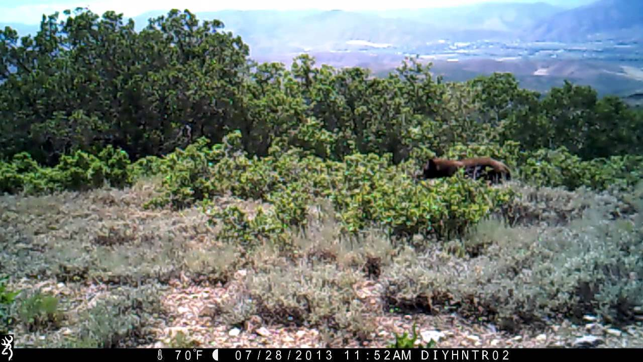 Black Bear on a Browning Range Ops Trail Camera