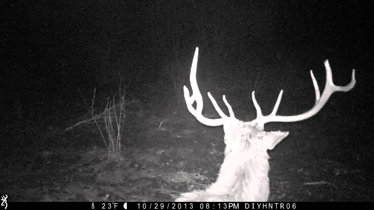 Five Point Bull Elk Bedding In Front of Browning Range Ops Trail Camera