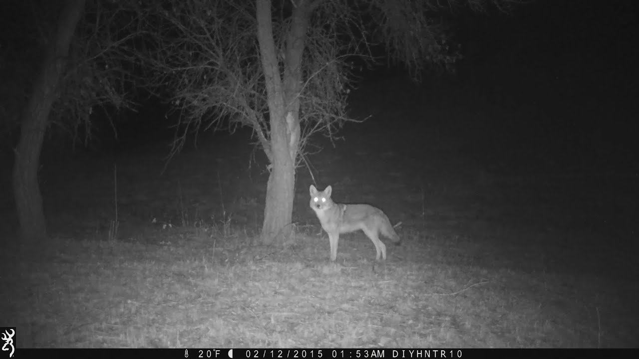 Coyotes & Raccoons - Night Footage Browning Recon Force BTC-7FHD