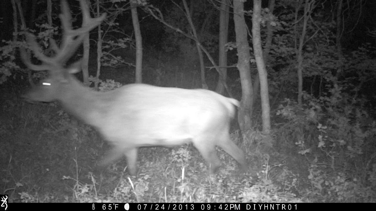 Elk with Browning Recon Force and Spec Ops Trail Cameras