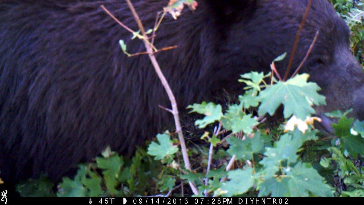Black Bears on Browning Trail Cameras in Northern Utah