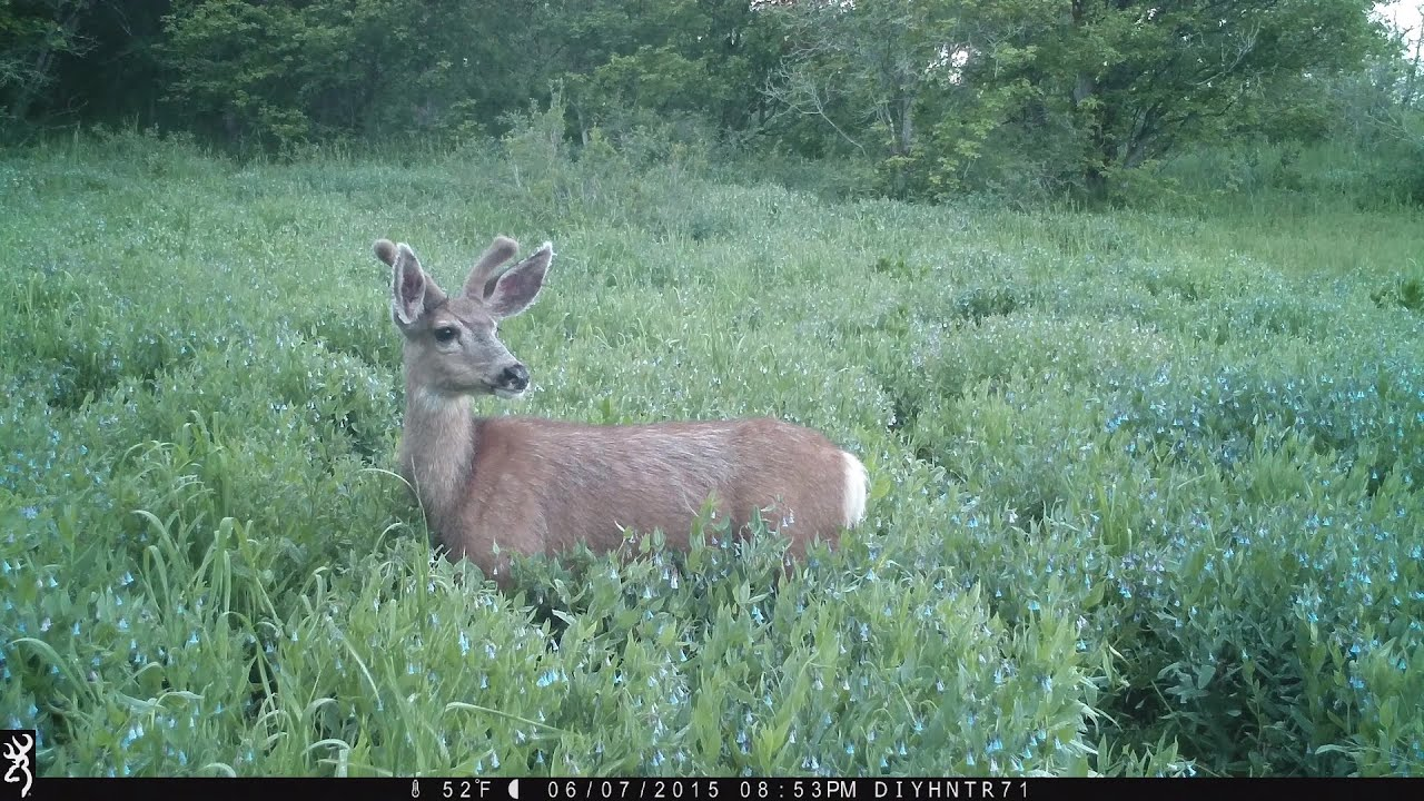 Mule Deer in Full HD - Recon Force BTC-7FHD Trail Cameras