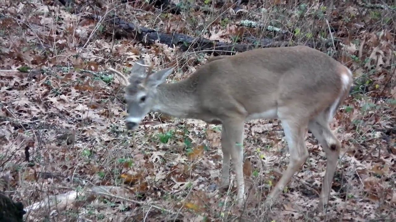 HS10 sample 1080p video showing a small whitetail deer buck