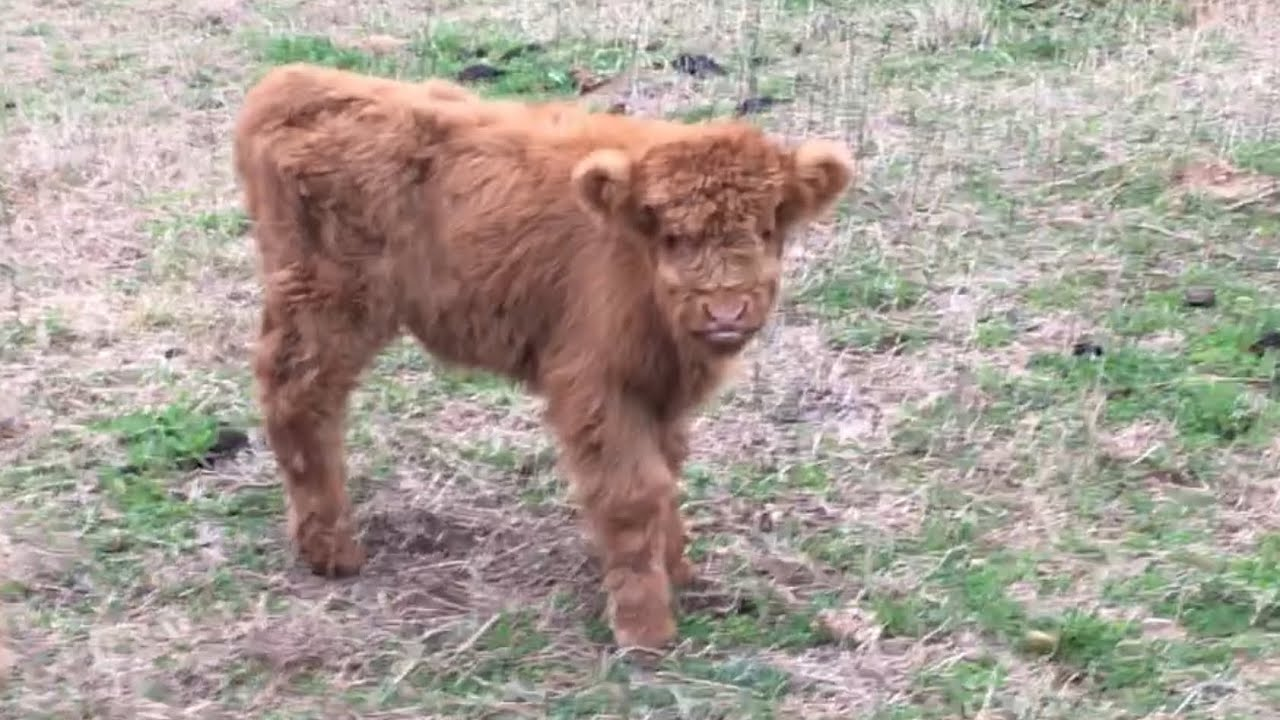 The newest member of the ranch, Highland calf