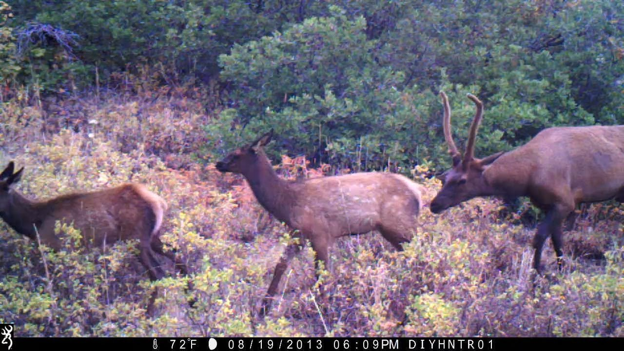 Elk and Moose Passing By Recon Force and Spec Ops Trail Cameras