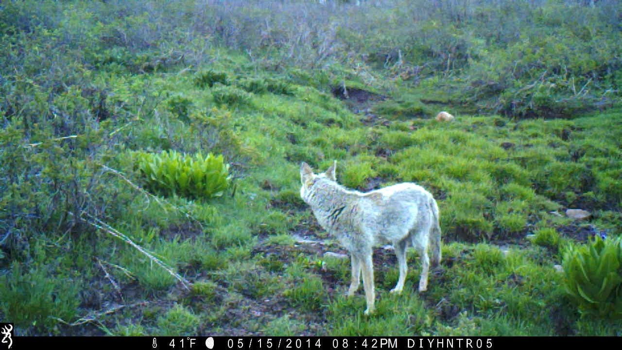 A Coyote Passing a Browning BTC-2 and BTC-2XR Trail Camera