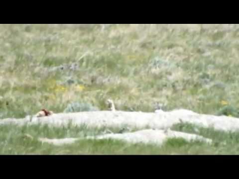 243 WSSM at 4240 FPS Hunting Prairie Dogs