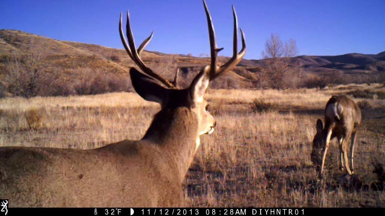 Rutting Mule Deer on Browning Trail Cameras