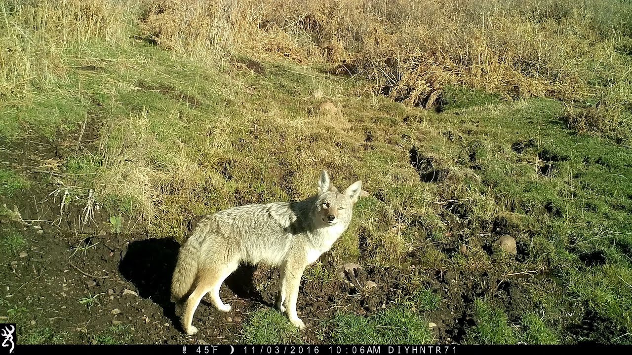Coyotes at the Spring