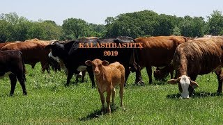 Kalashbashtx 2019