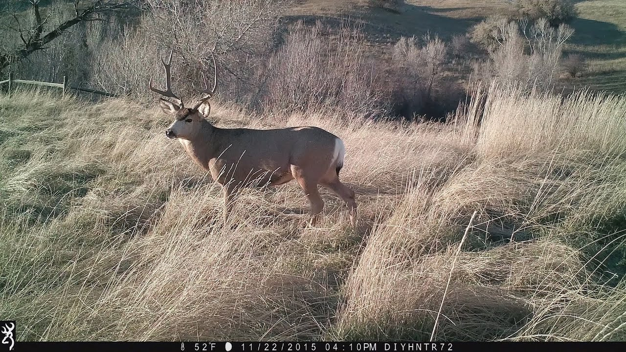 Grunting Mule Deer During the Rut - In Full HD