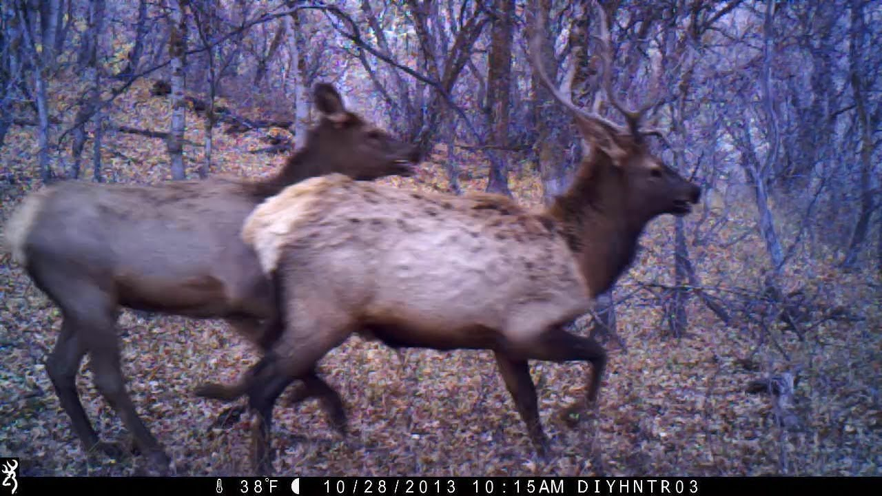Elk Passing by Browning Trail Cameras