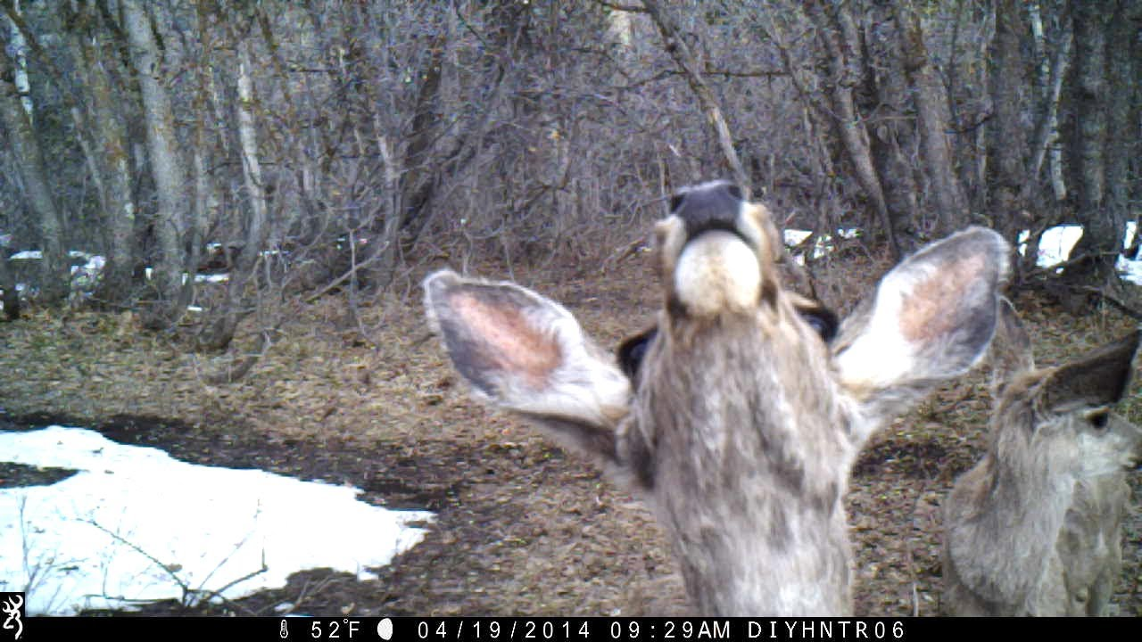 Mule Deer Does Smelling My Scent - Browning Strike Force Trail Camera