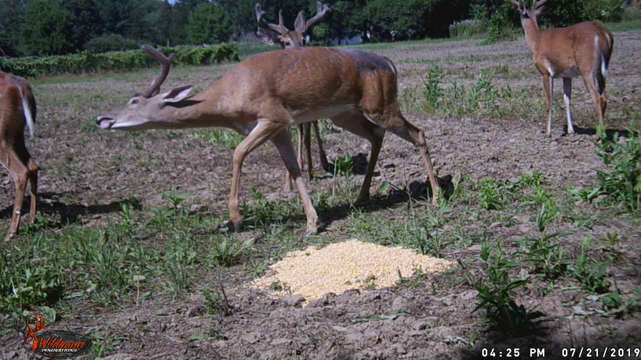 More Deer cam
