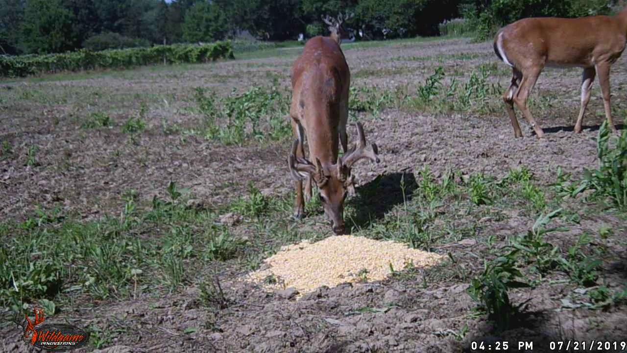 More deer cam