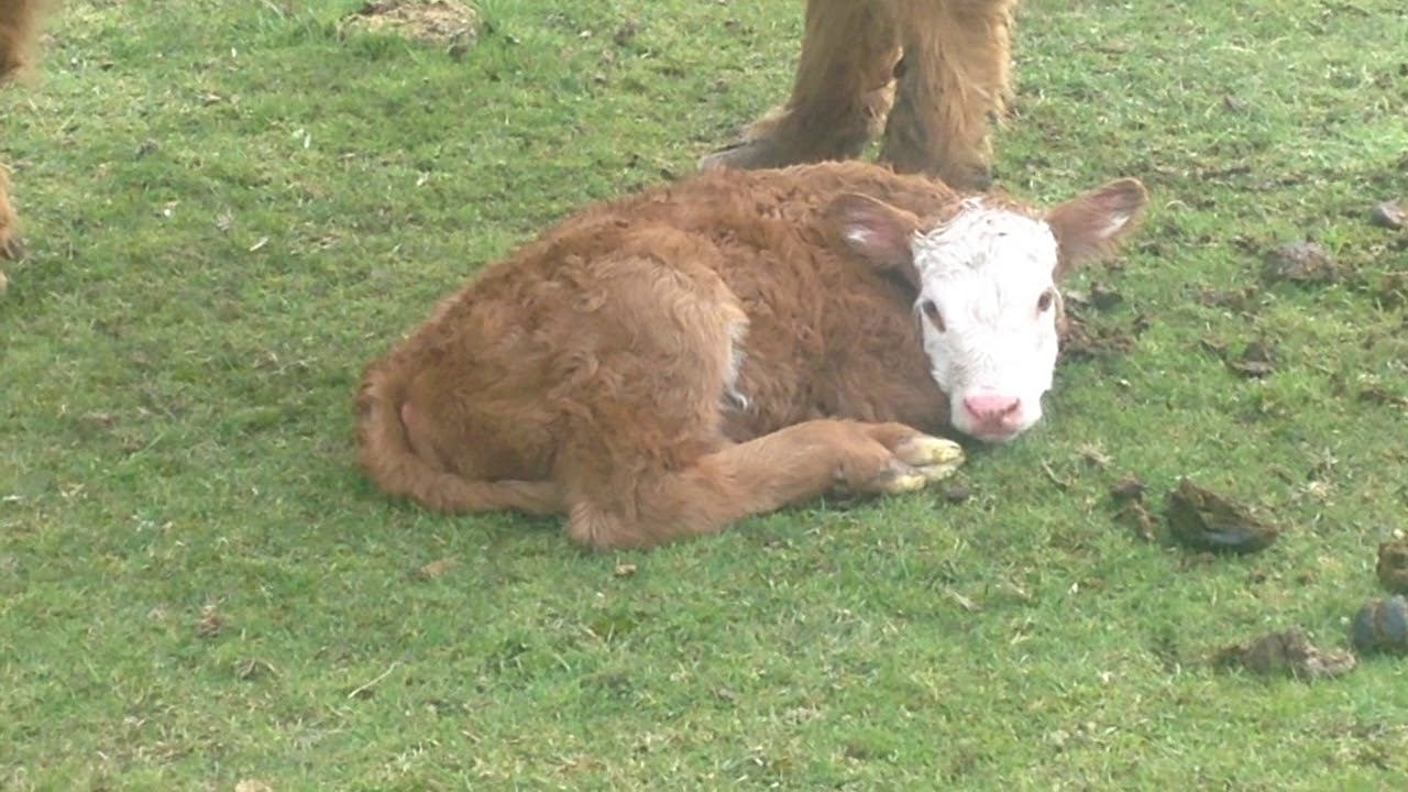 Birth of a Calf named Gracie