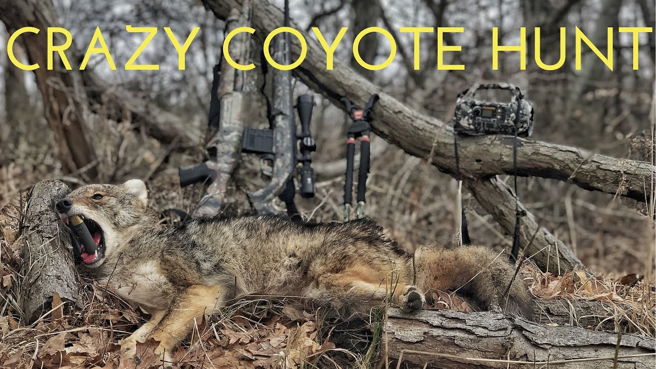 Crazy Coyote Hunt with Shotgun