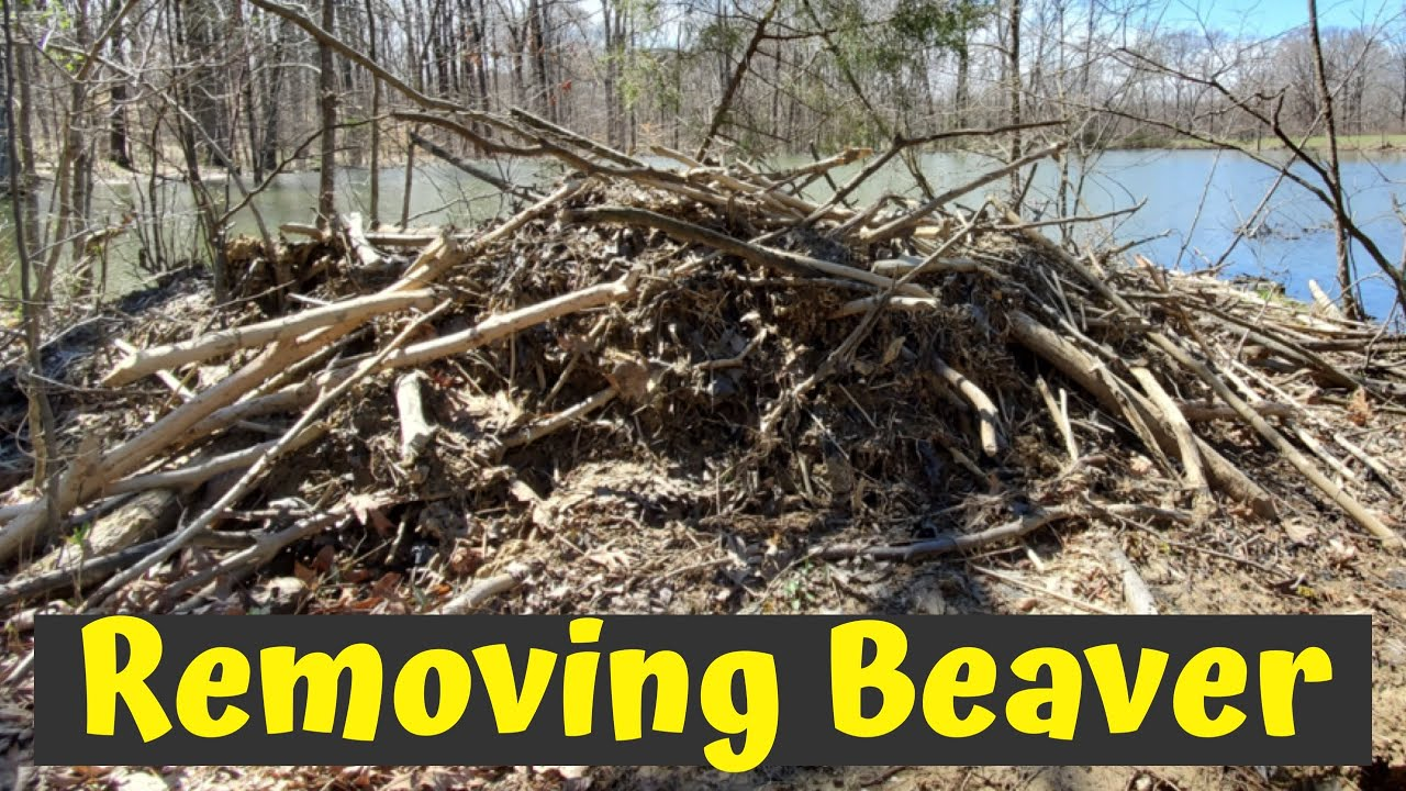 HOW TO REMOVE BEAVERS | BEAVER POPULATION CONTROL